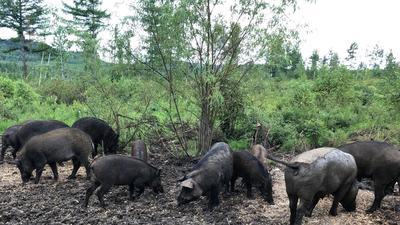 黑龙江省伊春市乌伊岭区生态野猪 20-30斤 公