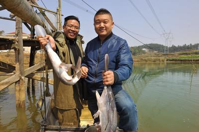 湖南省娄底市娄星区匙吻鲟 人工殖养 2-4公斤