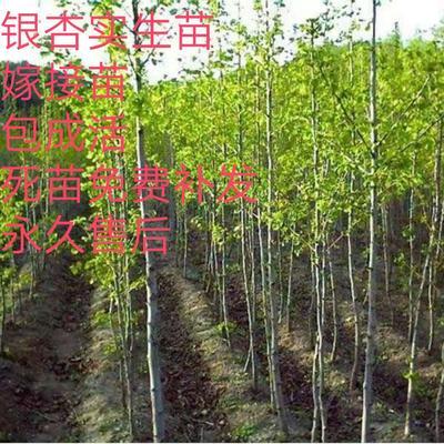 山东省临沂市平邑县银杏实生树