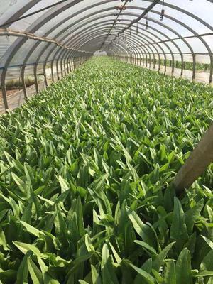 云南省昆明市西山区美冠油麦菜 35~40cm以上