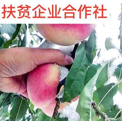 冬雪蜜桃苗 1~1.5米