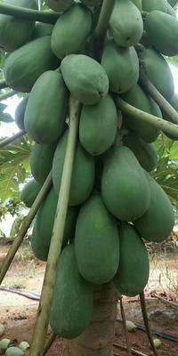 广西壮族自治区南宁市西乡塘区红心木瓜 2 - 2.5斤
