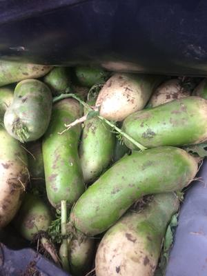 安徽省合肥市蜀山区青皮萝卜 1~1.5斤