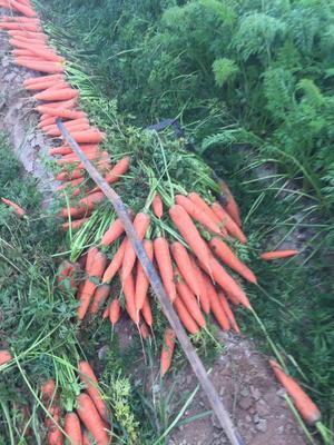 河南省濮阳市华龙区三红胡萝卜 10cm以下