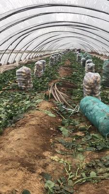 山东省潍坊市寿光市青皮萝卜 混装通货