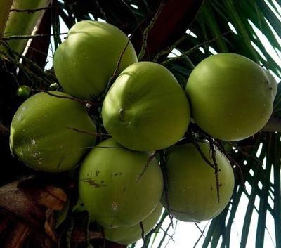 海南省三亚市海棠区椰青 5 - 6斤