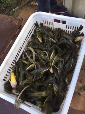 广西壮族自治区钦州市浦北县水库黄颡鱼 人工殖养 0.1公斤