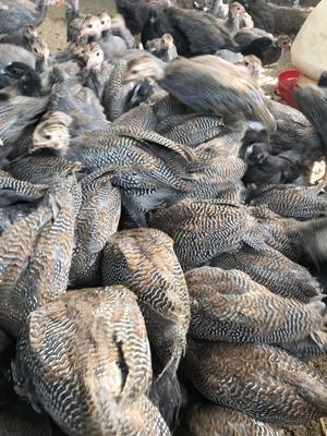 广西壮族自治区玉林市兴业县灰色珍珠鸡 2斤以下