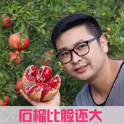 泰山大红石榴树苗