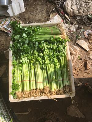 安徽省蚌埠市淮上区毛芹 40~45cm 大棚种植 0.5斤以下