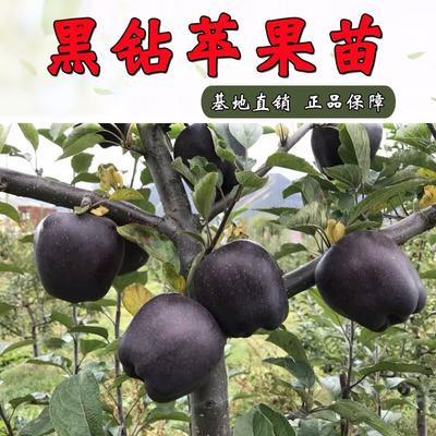 这是一张关于黑钻苹果树苗的产品图片