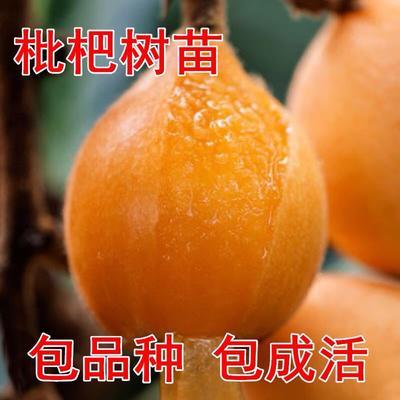 这是一张关于白沙枇杷苗的产品图片