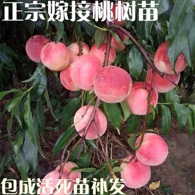这是一张关于嫁接桃树苗的产品图片