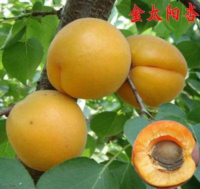 这是一张关于金太阳杏苗的产品图片