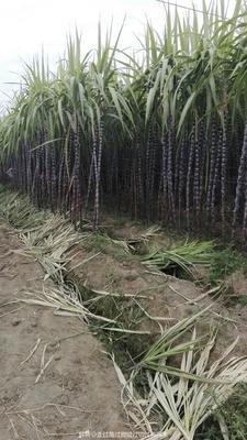 广东省揭阳市揭东区黑青刚甘蔗 6 - 8cm 2 - 2.5m