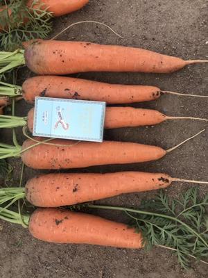 山东省青岛市莱西市三红胡萝卜 15cm以上