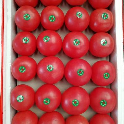 辽宁省丹东市东港市硬粉番茄 通货 硬粉 弧二以上