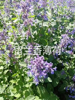 甘肃省酒泉市肃州区留兰香 干