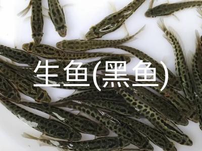 广东省肇庆市四会市黑鱼苗