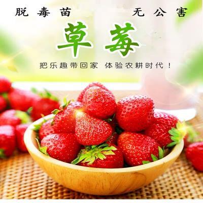 这是一张关于红颜草莓苗的产品图片