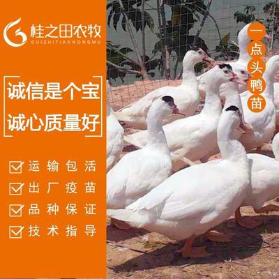 广西壮族自治区南宁市青秀区边鸭苗