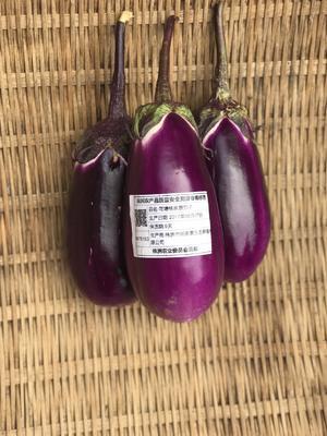 湖南省株洲市荷塘区黑贵人 15cm以下 圆茄