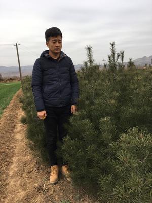 陕西省宝鸡市扶风县陕西白皮松