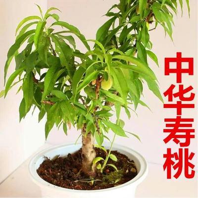 这是一张关于中华寿桃桃树苗的产品图片