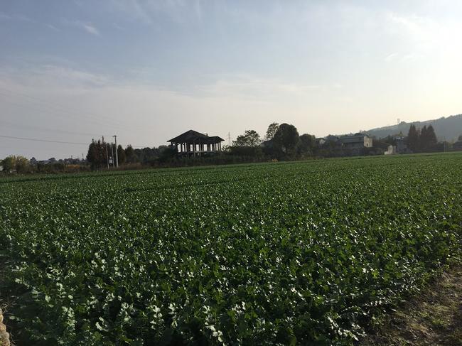 韓國白蘿卜 1.5~2斤