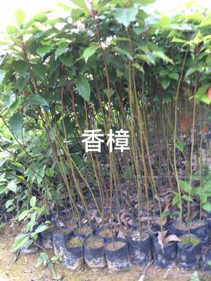 广东省广州市黄埔区樟树苗 50公分高香樟袋苗