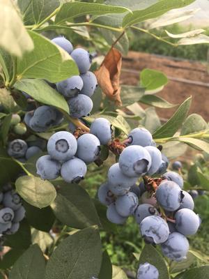 山东省临沂市临沭县蓝丰蓝莓 鲜果 15mm以上