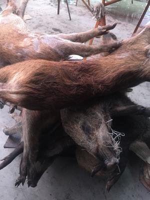 湖北省荆门市沙洋县生态野猪 30-40斤 统货