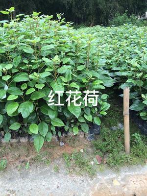 广东省广州市黄埔区红苞木 小袋苗