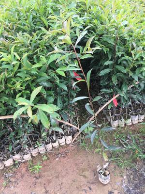 广东省广州市黄埔区山杜英 50公分高袋苗
