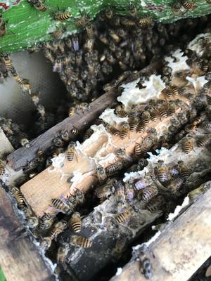这是一张关于土蜂蜜 2年 塑料瓶装 95%以上的产品图片
