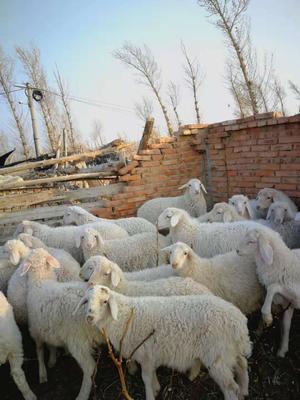 这是一张关于小尾寒羊 30斤以下的产品图片