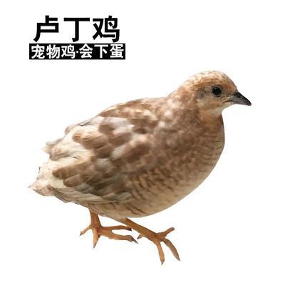 山东省菏泽市单县观赏蓝胸鹌鹑