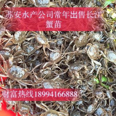 江苏省无锡市江阴市中华绒螯蟹苗