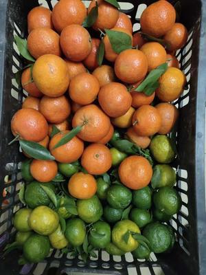广西壮族自治区河池市宜州市沙糖桔 统货 1 - 1.5两