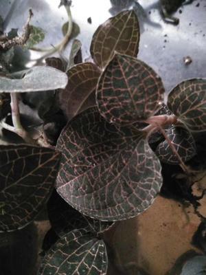 这是一张关于金线莲种苗 野生金线莲的产品图片