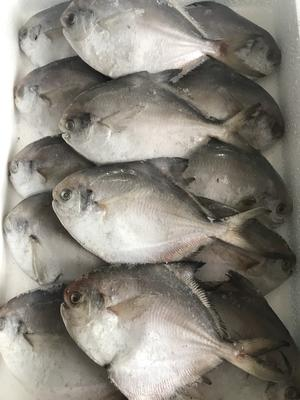 江苏省连云港市赣榆区银鲳鱼 野生 0.5公斤以下