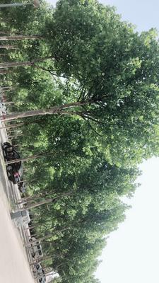 河北省唐山市丰南区西芹 50~55cm 0.5斤以下 大棚种植