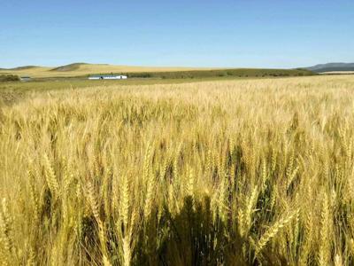内蒙古自治区呼伦贝尔市海拉尔区普通小麦