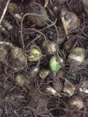 这是一张关于山慈菇 湿的产品图片
