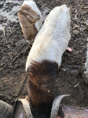 河南省鹤壁市山城区土羊 50-80斤