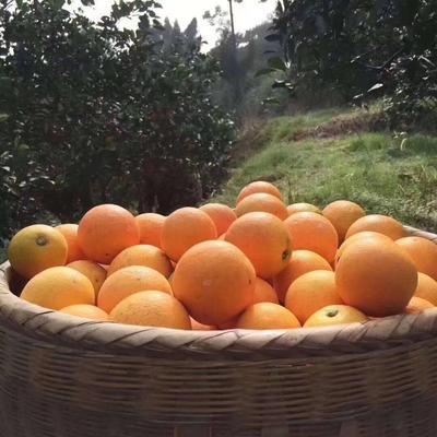 这是一张关于麻阳冰糖橙 65 - 70mm 4-8两的产品图片