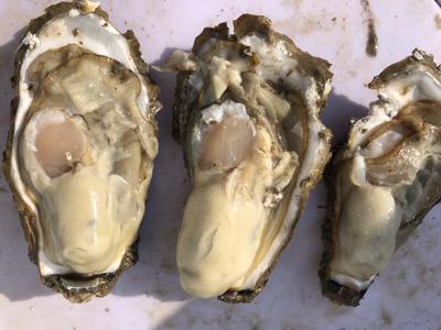 山东省威海市乳山市乳山牡蛎 6两以上/只   野生