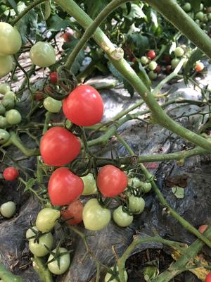 这是一张关于粉贝儿西红柿 精品 软粉 弧一以下的产品图片