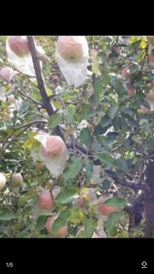 这是一张关于王林苹果 60mm以上 条红 膜袋的产品图片