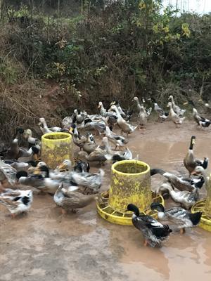 江西省上饶市弋阳县青头麻鸭 2-3斤 公 半圈养半散养